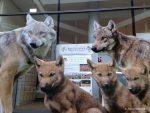 Engagement für Wölfe und Herdenhalter zugleich.