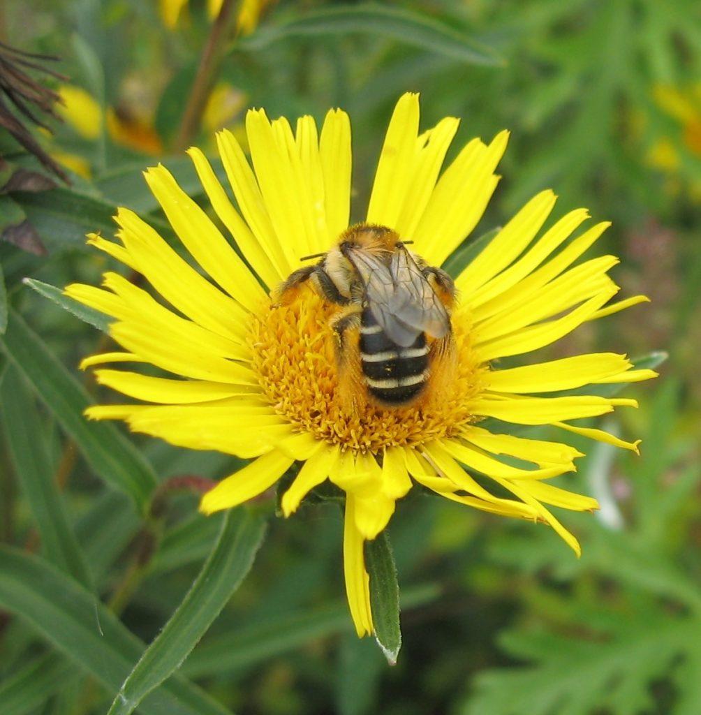 Hosenbiene auf einer Alantblüte.