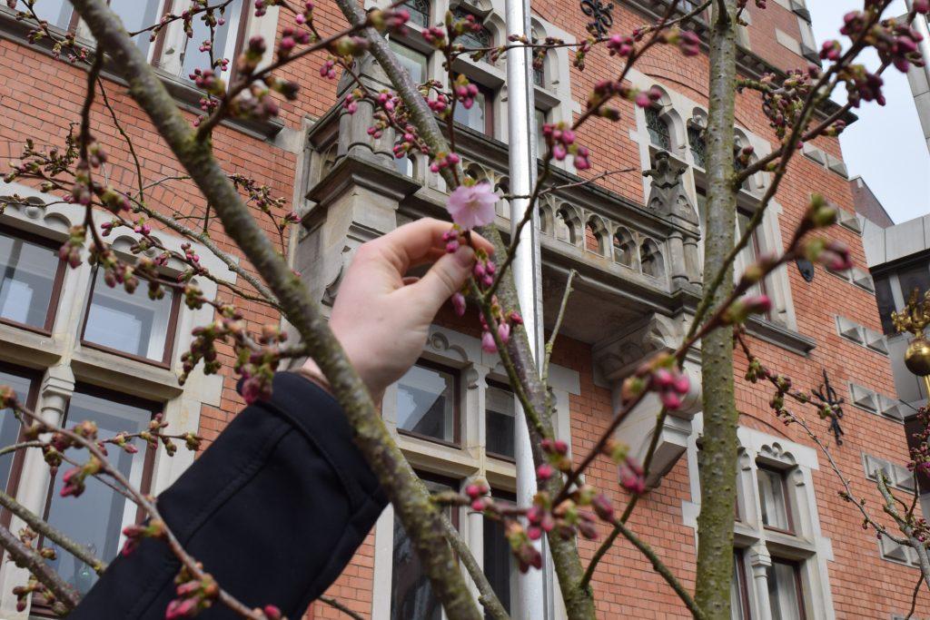 Kirschblüte auf dem Oldenburger Marktplatz.