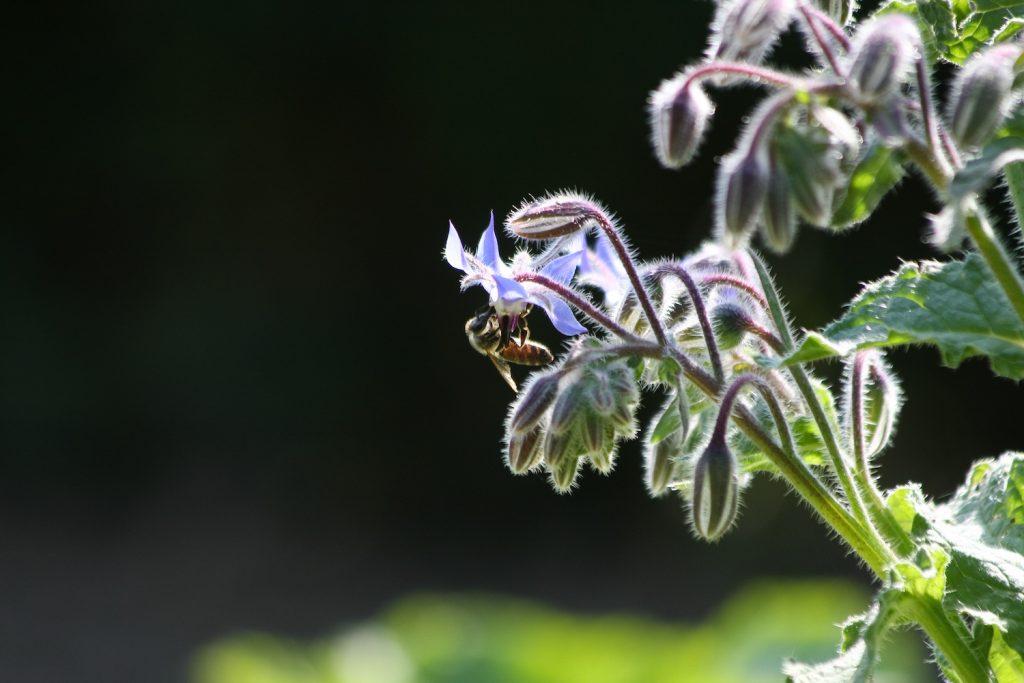 Honigbiene an Borretsch.