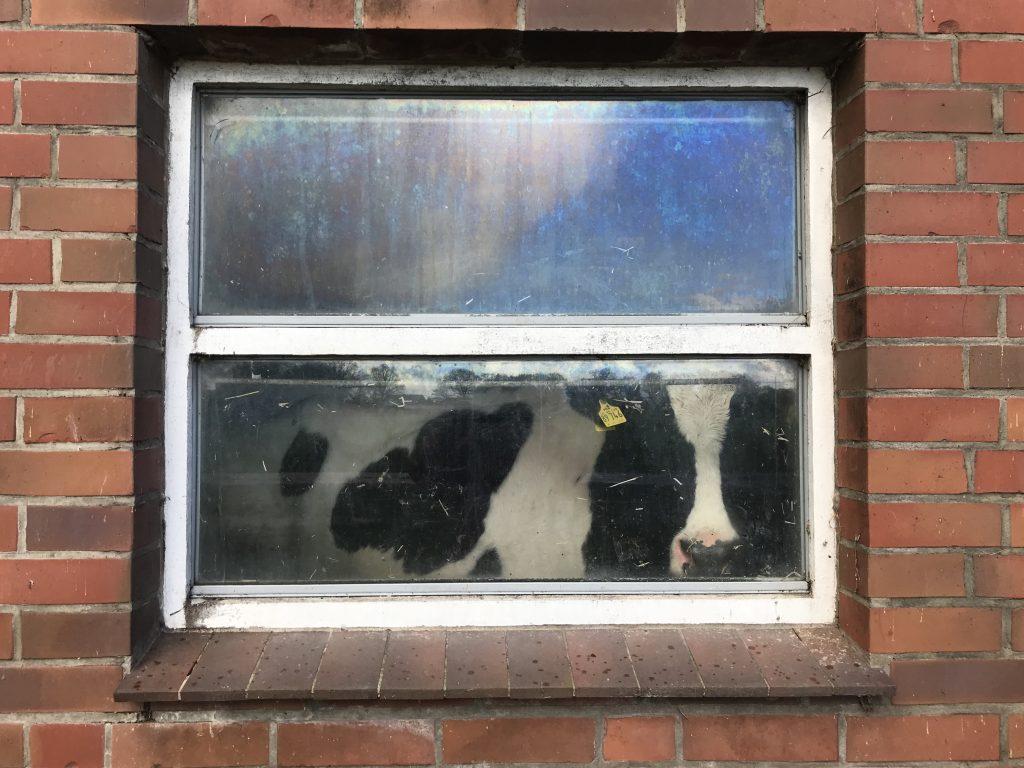 Kuh hinter einem Fenster.